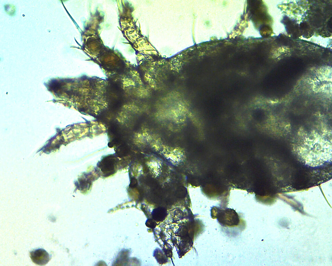 A microscope image of a cheese mite