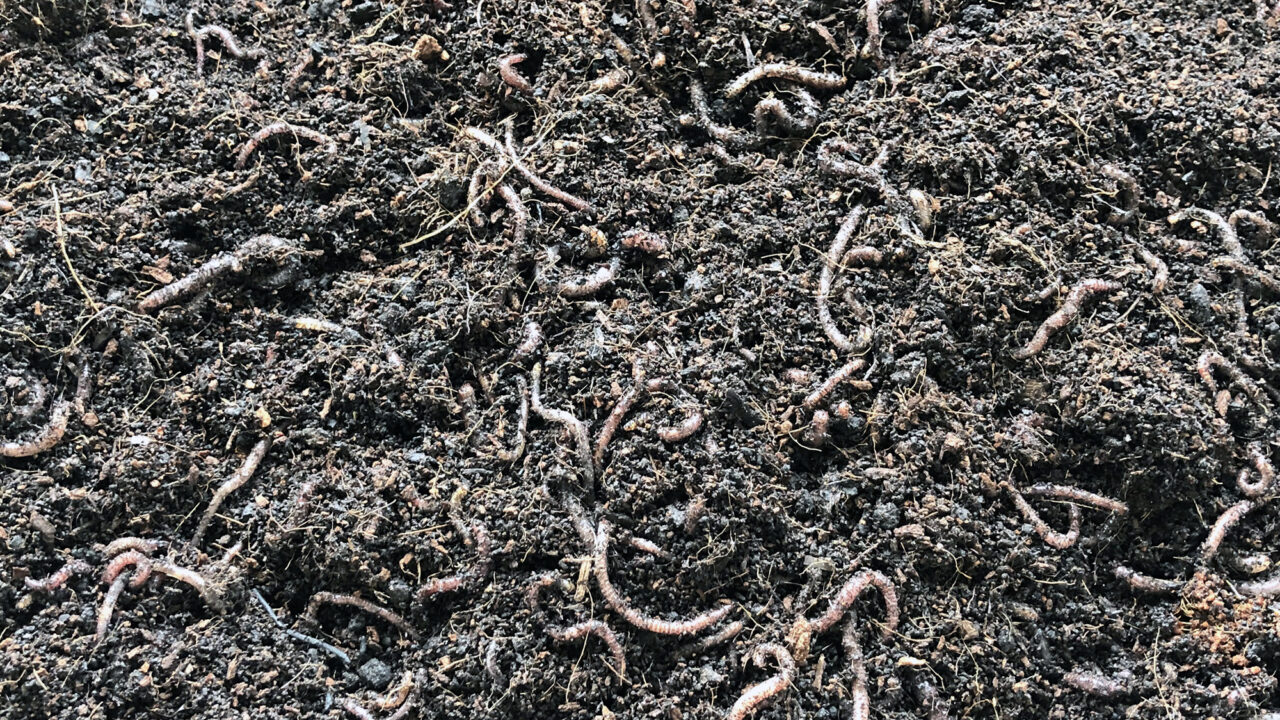 Image of worms in a wormery